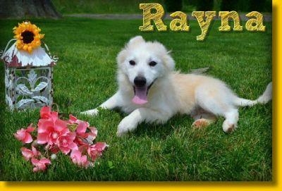 Rayna Female Pomsky