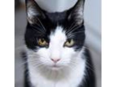 Adopt Busta a Black & White or Tuxedo Domestic Shorthair / Mixed cat in