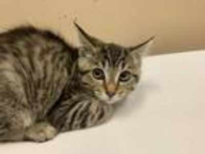 Adopt SPROUT a Brown Tabby Domestic Shorthair / Mixed (short coat) cat in