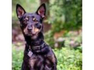 Adopt Snuggle a Black Manchester Terrier / Mixed dog in Carrollton
