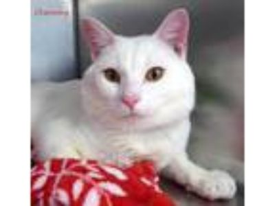 Adopt Charming a White Domestic Shorthair / Domestic Shorthair / Mixed cat in
