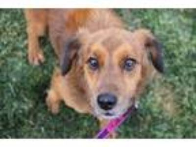 Adopt Martin a Red/Golden/Orange/Chestnut Spaniel (Unknown Type) / Mixed dog in