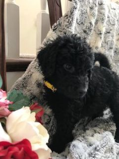 Goldendoodle PUPPY FOR SALE ADN-91704 - Beautiful F1b Goldendoodle puppies