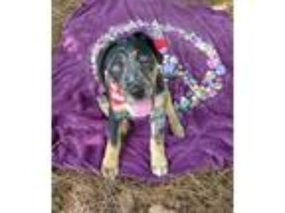 Adopt Squeakers a Catahoula Leopard Dog