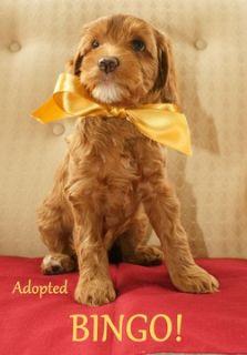 Australian Labradoodle PUPPY FOR SALE ADN-52027 - Australian Labradoodle  All Puppies Adopted