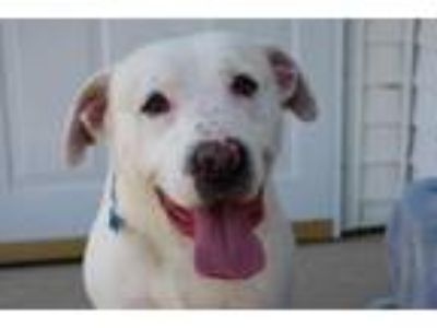 Adopt Sammy a Labrador Retriever, Great Pyrenees