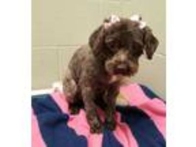 Adopt Olive a Gray/Blue/Silver/Salt & Pepper Poodle (Miniature) / Mixed dog in