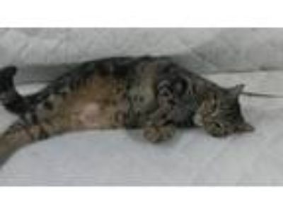 Adopt Gio a Domestic Mediumhair / Mixed cat in Flushing, NY (22856438)