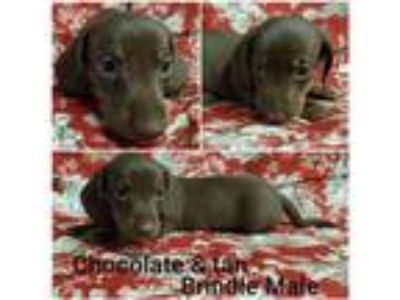 AKC Mini Dachshund Puppies for Sale