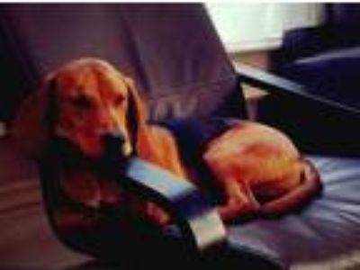 Adopt Lou a Black - with Tan, Yellow or Fawn Hound (Unknown Type) / Beagle dog