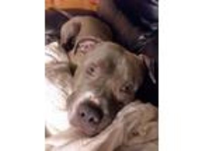 Adopt Jax a Gray/Blue/Silver/Salt & Pepper American Pit Bull Terrier / American