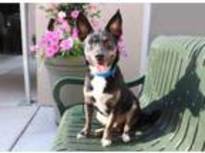 Adopt Mash a Black Australian Cattle Dog / Mixed dog in Chicago, IL (25867820)