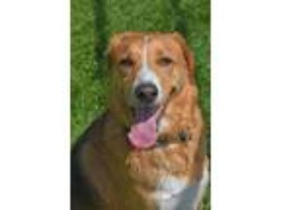 Adopt 10319654 SUMMER a Shepherd, Beagle