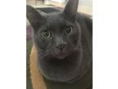 Adopt Mao a Gray or Blue American Shorthair / Mixed cat in Glen Allen