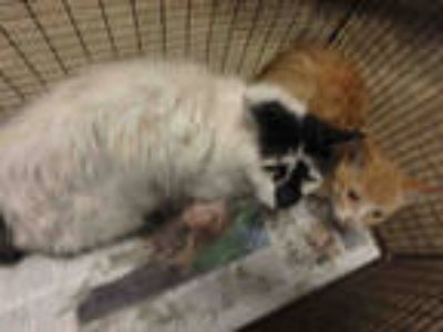 Adopt GNOCCHI a White (Mostly) Domestic Shorthair / Mixed (short coat) cat in