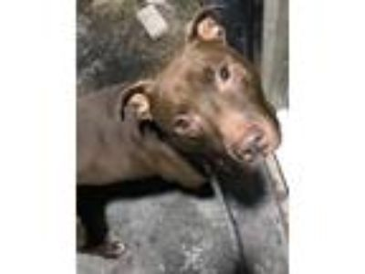 Adopt Branson (Ransom) a Labrador Retriever / Pit Bull Terrier / Mixed dog in