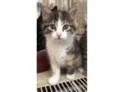 Adopt Watermelon a White Domestic Longhair / Domestic Shorthair / Mixed cat in