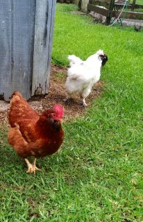 Brown Bearded Chicken Hen 1 years old