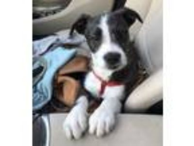 Adopt Scout a Terrier