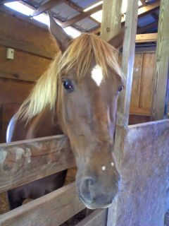 SWEET, CALM 8 yr. old Mare