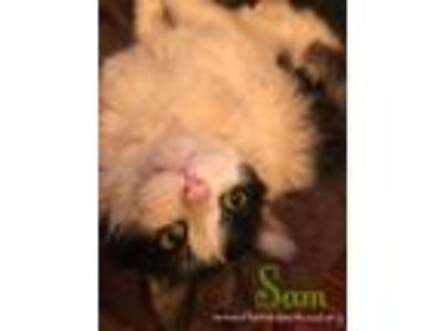 Adopt Sam a Domestic Long Hair