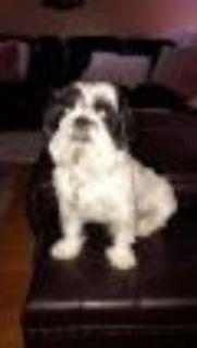 Luigi Shih Tzu Dog