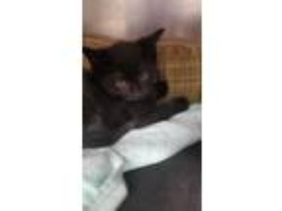 Adopt Inky 2/6 a Domestic Short Hair
