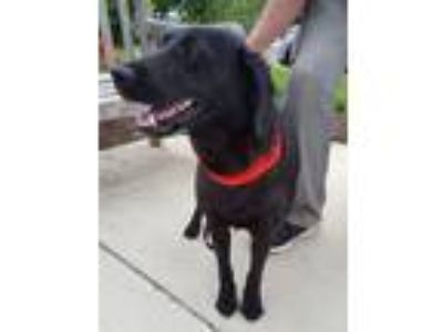 Adopt Maxie a Black Labrador Retriever dog in Greenbelt, MD (25591787)
