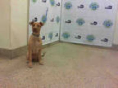 Adopt GOLDIE a Brown/Chocolate Labrador Retriever / Mixed dog in Doral
