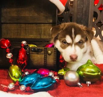 Siberian Husky PUPPY FOR SALE ADN-104800 - Siberian Husky