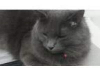 Adopt Ashes & Matches a American Shorthair / Mixed cat in oakland park