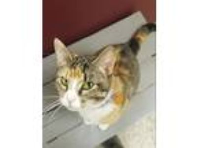 Adopt Goldie a Domestic Shorthair / Mixed cat in Madison, NJ (25296895)