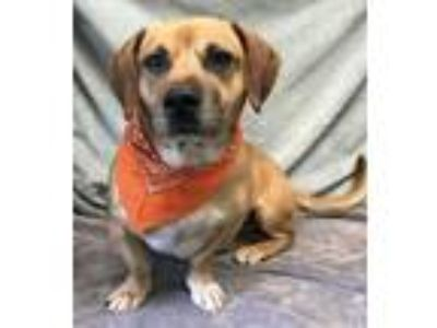 Adopt Pete a Red/Golden/Orange/Chestnut - with White Basset Hound / Mixed dog in