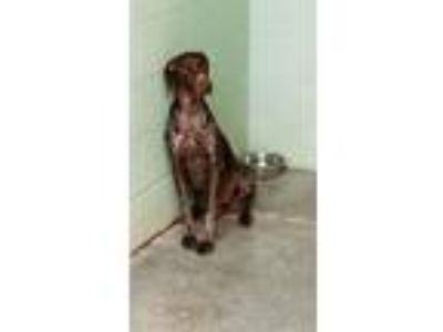 Adopt Molly a German Shorthaired Pointer