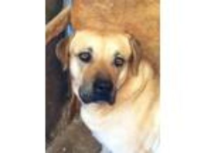 Adopt Big Mamma a Shepherd, Labrador Retriever