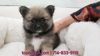 Pomeranian PUPPY FOR SALE ADN-73934 - Pomeranian Female Zoey
