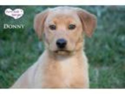 Adopt Donny a Red/Golden/Orange/Chestnut Retriever (Unknown Type) / Mixed dog in