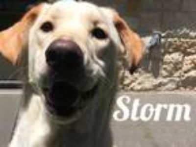 Adopt Storm a Tan/Yellow/Fawn Labrador Retriever / Mixed dog in Lewisville