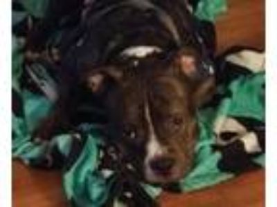 Adopt Gucci - *SUPER URGT* NEEDS IMMED FOSTER HOME a American Staffordshire