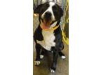 Adopt Barbie a Australian Cattle Dog / Boxer / Mixed dog in Redding