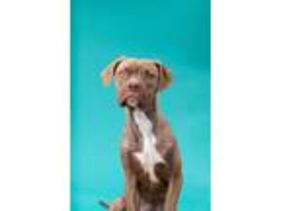 Adopt Samuel a Brindle - with White Boxer / Labrador Retriever / Mixed dog in