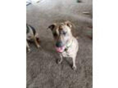 Adopt Maverick k a Brindle German Shepherd Dog / German Shepherd Dog dog in