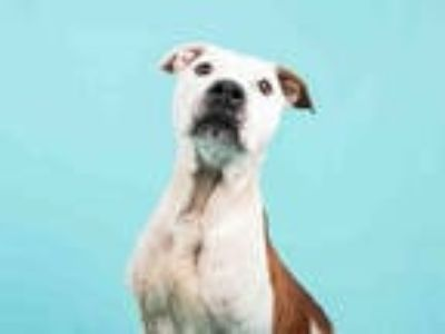 Adopt HOPE a Brown/Chocolate - with White Labrador Retriever / Mixed dog in