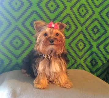 Yorkshire Terrier PUPPY FOR SALE ADN-107205 - T Cup and Toys