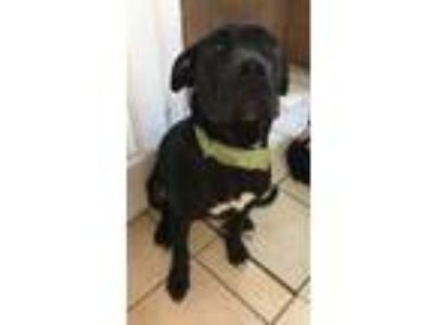 Adopt Merlin a Black Retriever (Unknown Type) / Great Dane / Mixed dog in