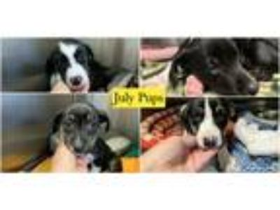 Adopt July Pups a Black - with White Labrador Retriever / Mixed dog in