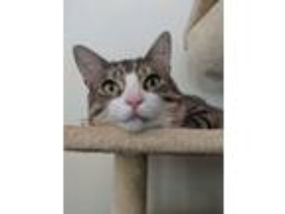 Adopt Rocky a Gray, Blue or Silver Tabby Domestic Shorthair (short coat) cat in