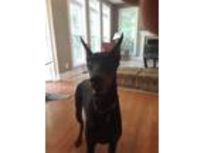 Adopt Starksy a Black - with Brown, Red, Golden, Orange or Chestnut Doberman