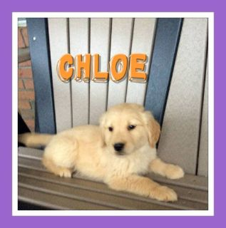 Chloe Female AKC Golden Retriever