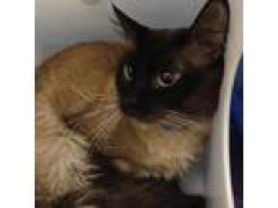 Adopt Blu a Gray or Blue Siamese / Domestic Shorthair / Mixed cat in Milwaukee